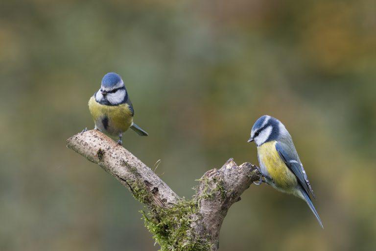 Mooi duo: twee pimpelmezen op een tak