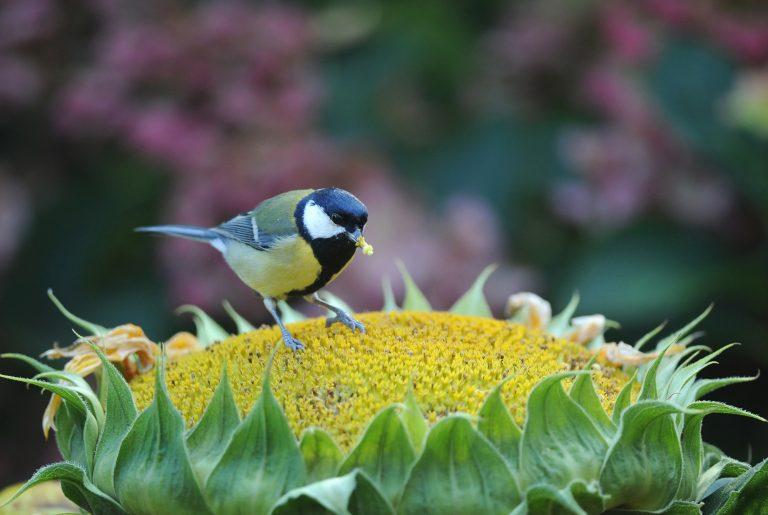Doe mee aan de nationale tuinvogeltelling 2015