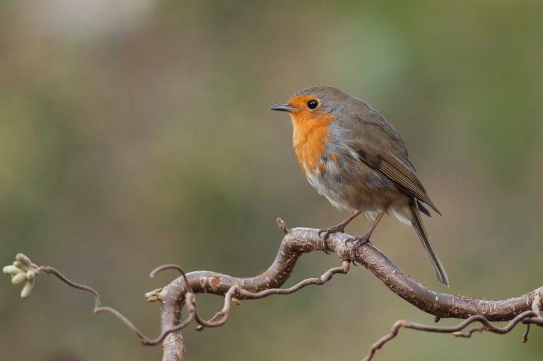 Tuinvogeltelling op zaterdag 27 en zondag 28 januari