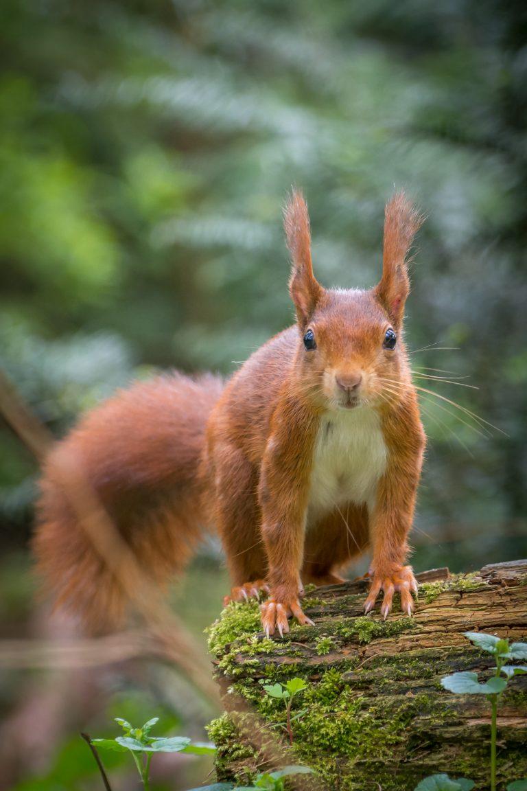 Alerte eekhoorn