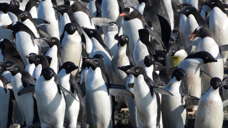 Zuidpoolblog deel 4: Op bezoek bij de adéliepinguïns