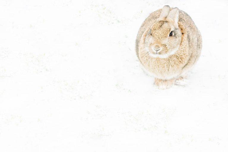 Konijn in winters weer op Texel