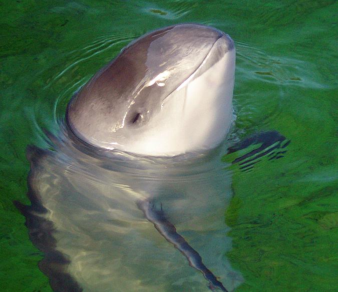 Grijze zeehonden blijken bruinviskillers te zijn