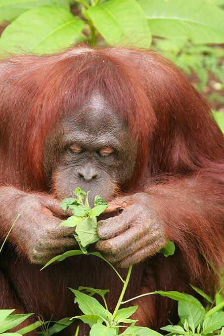 Adopteer een orang-oetan