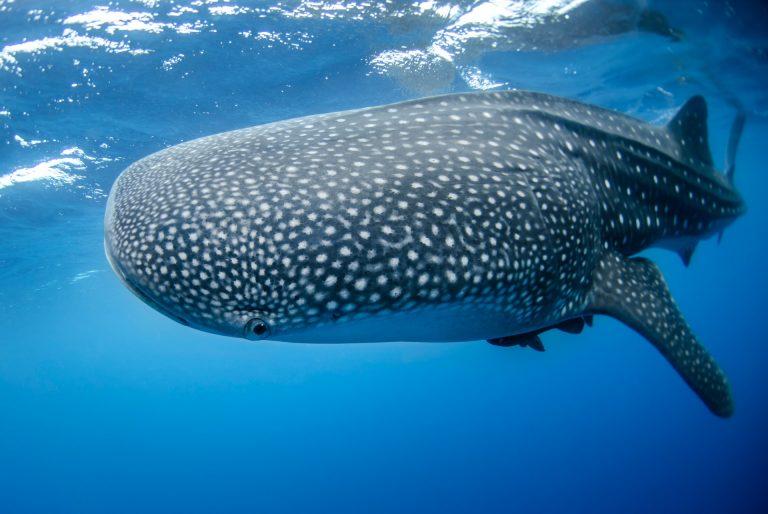 De grootste vis in de zee is een ….. vrouwtje
