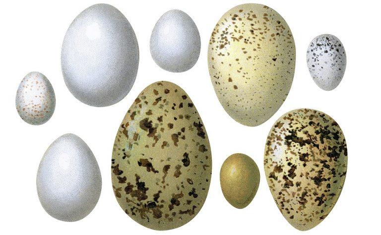 Eieren zijn een briljante uitvinding van de natuur