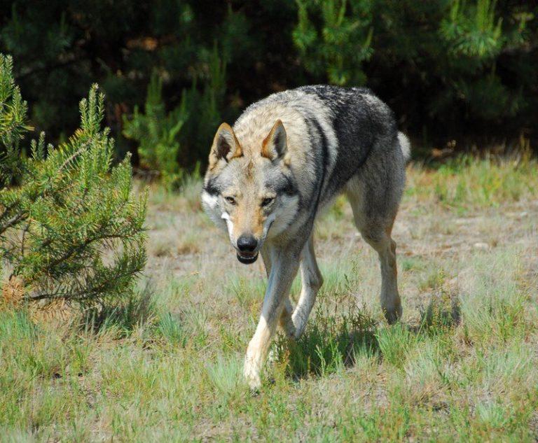 De wolf terug in Drenthe?