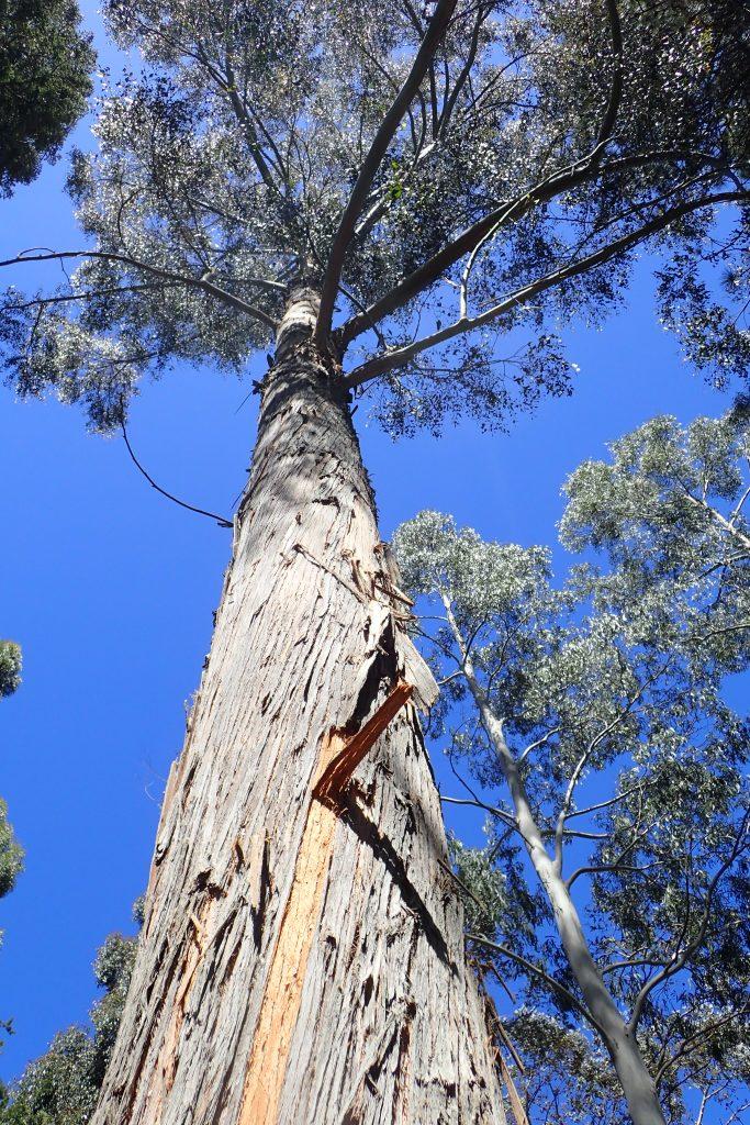 Eucalyptus delegatensis