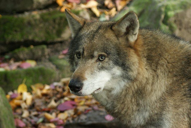 Weer een wolf in Nederland