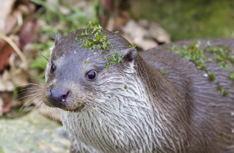 De otter is terug in het Naardermeer