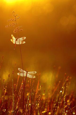 Bandheidelibellen net voor zonsopkomst..