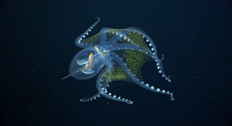 Spectaculair: beelden van 'glazen octopus' in de Grote Oceaan