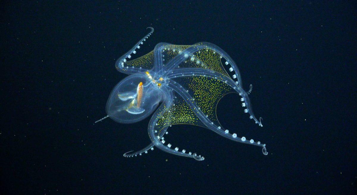 glazen octopus