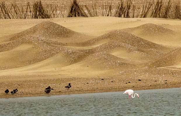 Bijzondere flamingo op Texel