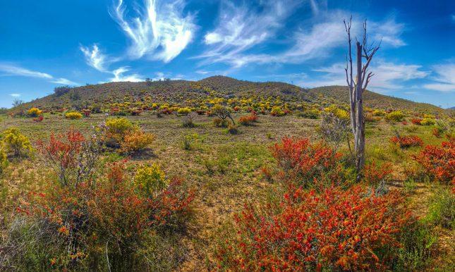 flinders-ranges-wildflowers-tim-lindner_banner