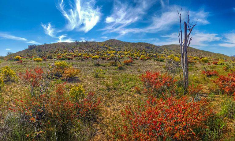 Australische woestijn staat in bloei