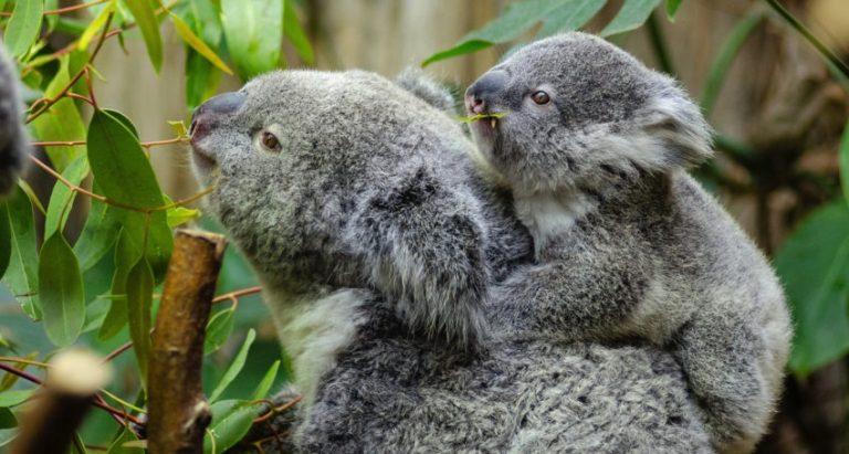Onderzoekers ontdekken de enige chlamydia-vrije plek voor koala's