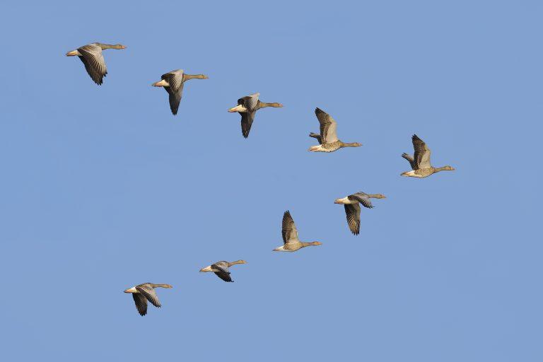 Waarom vliegen ganzen in V-formatie?