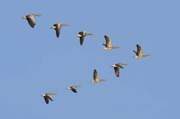 Waarom vliegen ganzen in een 'V'?