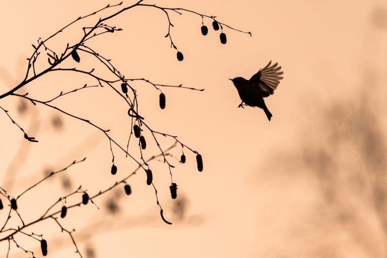 Een vliegensvlug goudhaantje in de vroege ochtend