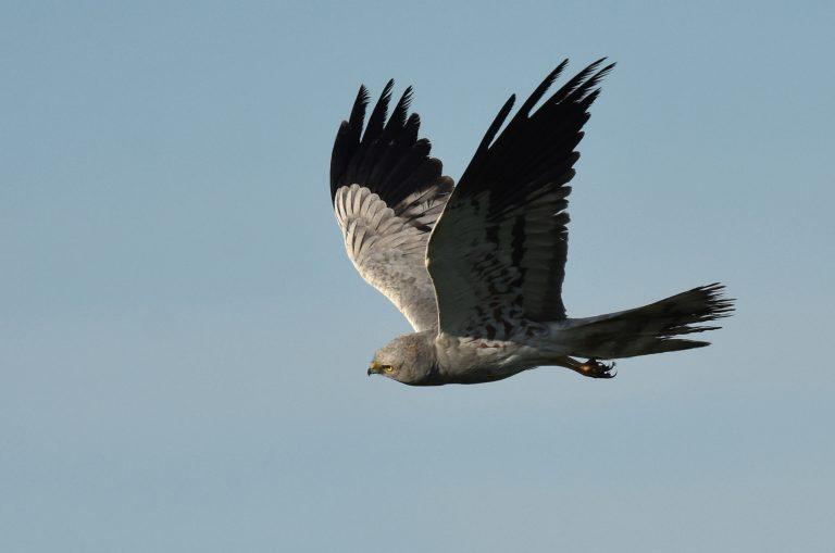 Hoeveel kilometers vliegen grauwe kiekendieven per jaar?
