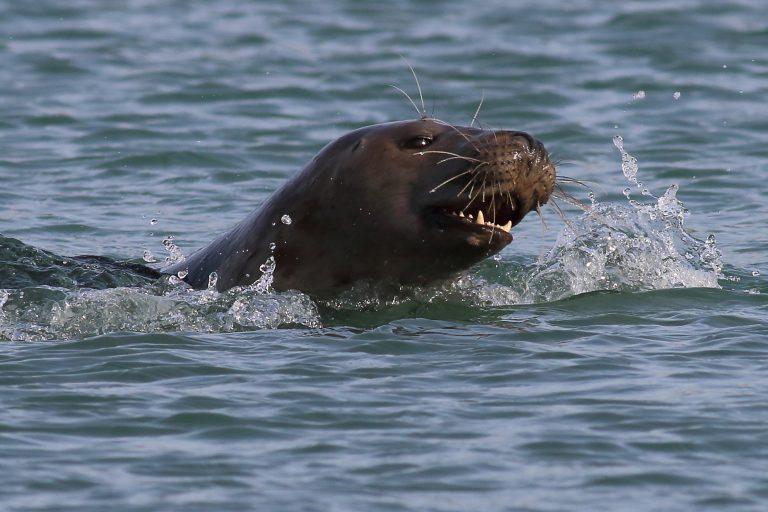 Een zeehond-drive-in op de Brouwersdam