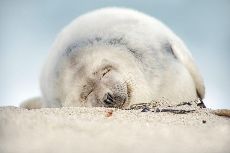 Nu te zien: grijze zeehonden en hun witte pups