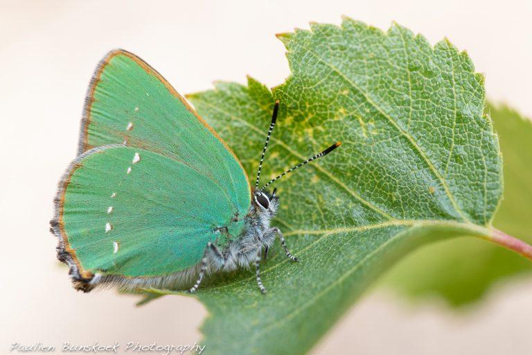 Vlinderfotografie: een groentje met groentjes