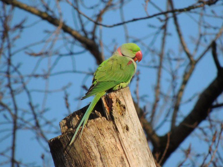 Vervelende vogels: halsbandparkieten