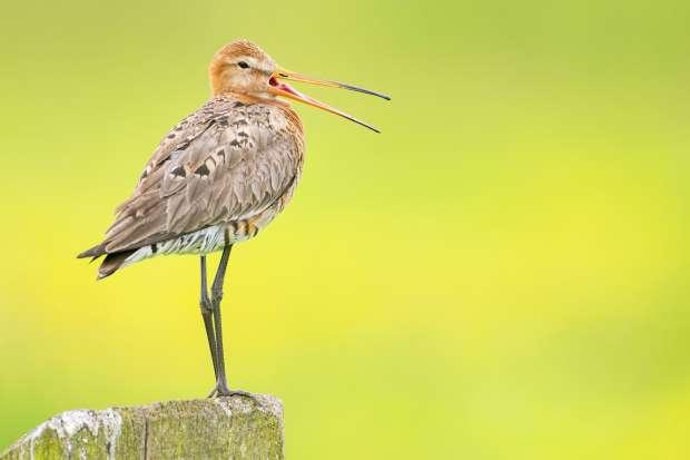 Nieuw succesvol weidevogelgebied
