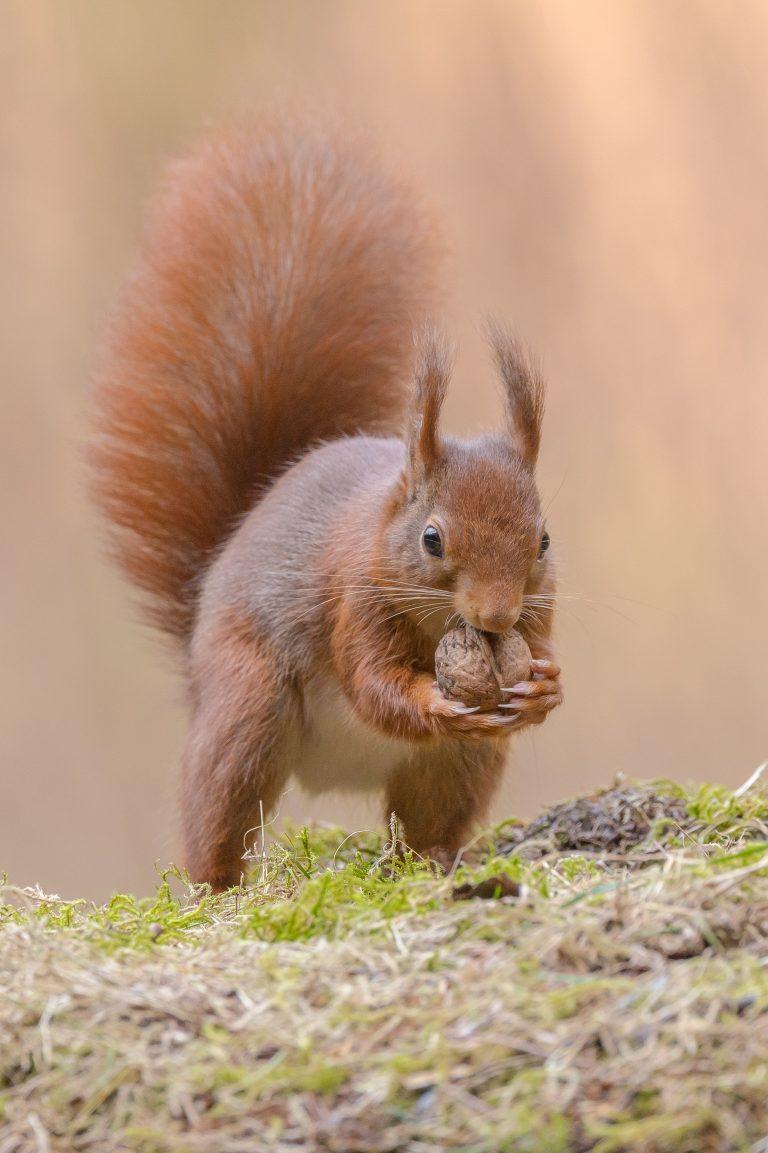 Een gulzige eekhoorn
