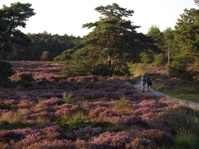Heide bloeit mooier dan ooit tevoren!