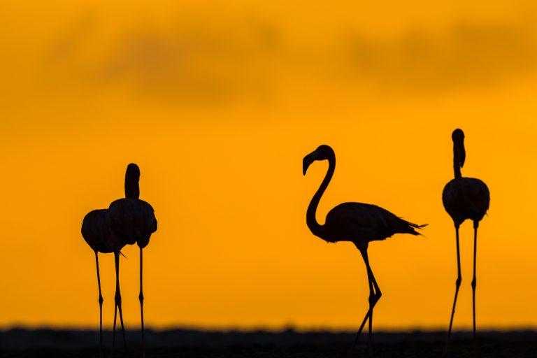 Flamingo's bij zonsopkomst