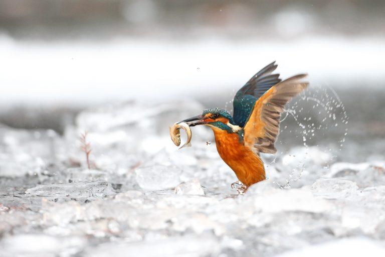 IJsvogels haten ijs