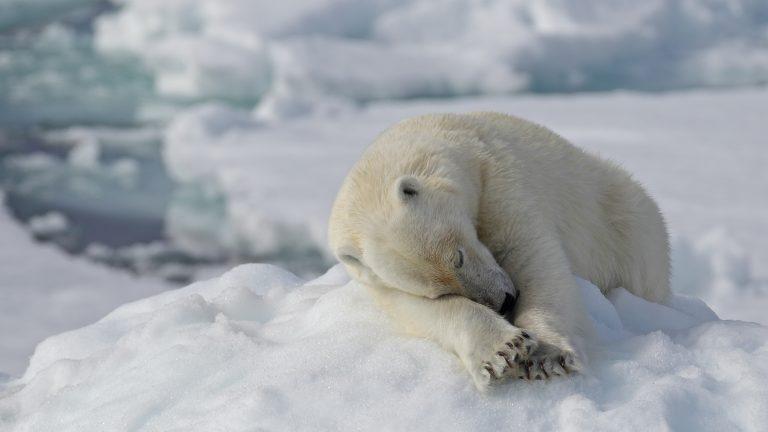 De ijsbeer wint verkiezing Beestachtige Top 80