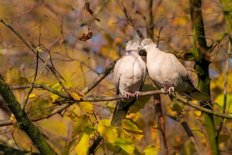 Vogelfotografie: Verliefde Turkse tortels