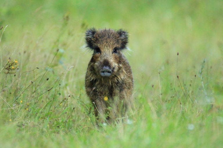 Faunabescherming voert actie tegen jaarlijkse sluiting Kroondomein