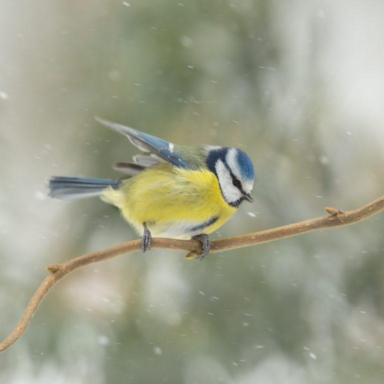 Pimpelmees in een voorjaars-sneeuwstorm