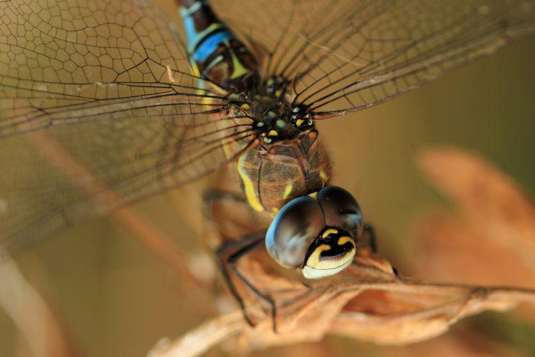 Late libellensoorten