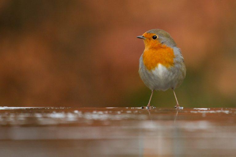 Leestip voor de zomer: het vogelboek 'Het roodborstje'
