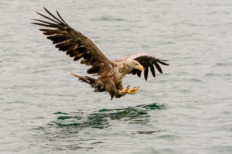 Nieuw natuurblog: de onzichtbare zeearend