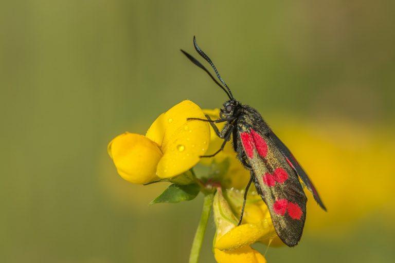 Volop te zien: sint-jans vlinders