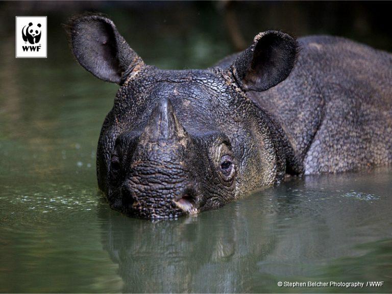 Zeer unieke foto's van de zeldzame Javaanse neushoorn