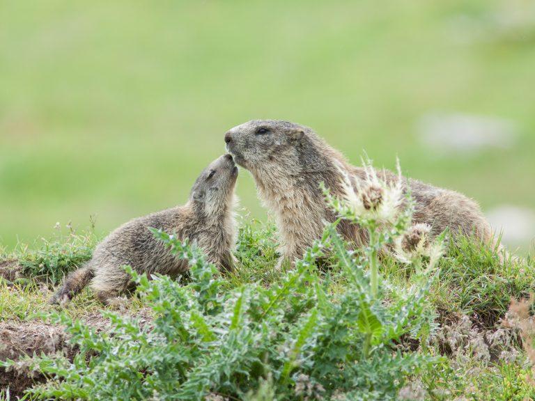 Alpenmarmotten: kusje mamma