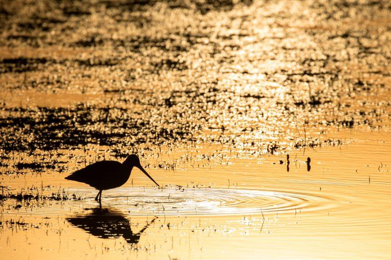 Grutto op waterland