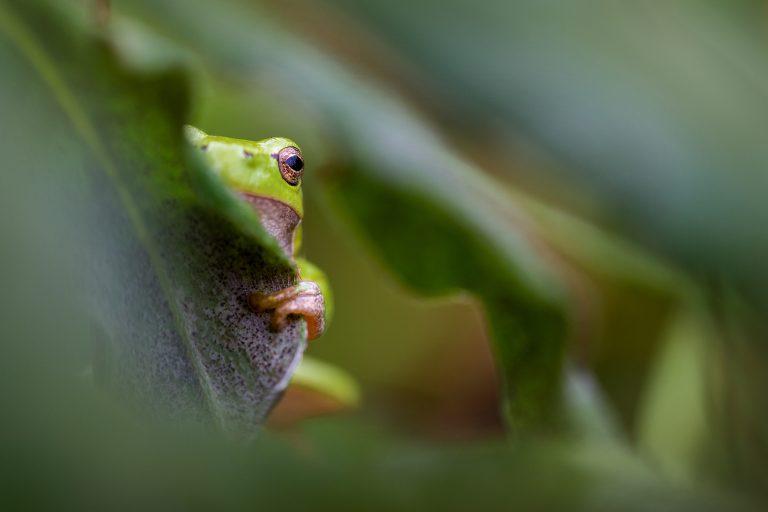 Een boomkikker die verstoppertje speelt