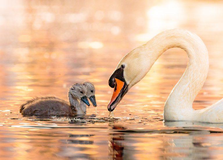 De ultieme voorjaarsfoto: zwanenfamilie