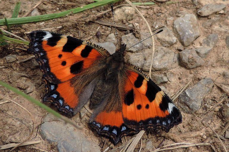 Eén van de eerste vlinders: de kleine vos