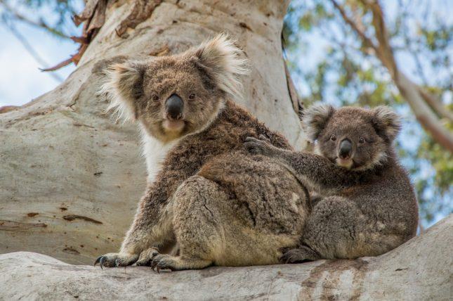 Koala's drinken wel water