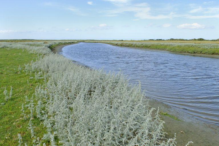 Natuurblog: zeealsem is zeldzaam, maar niet op Schiermonnikoog
